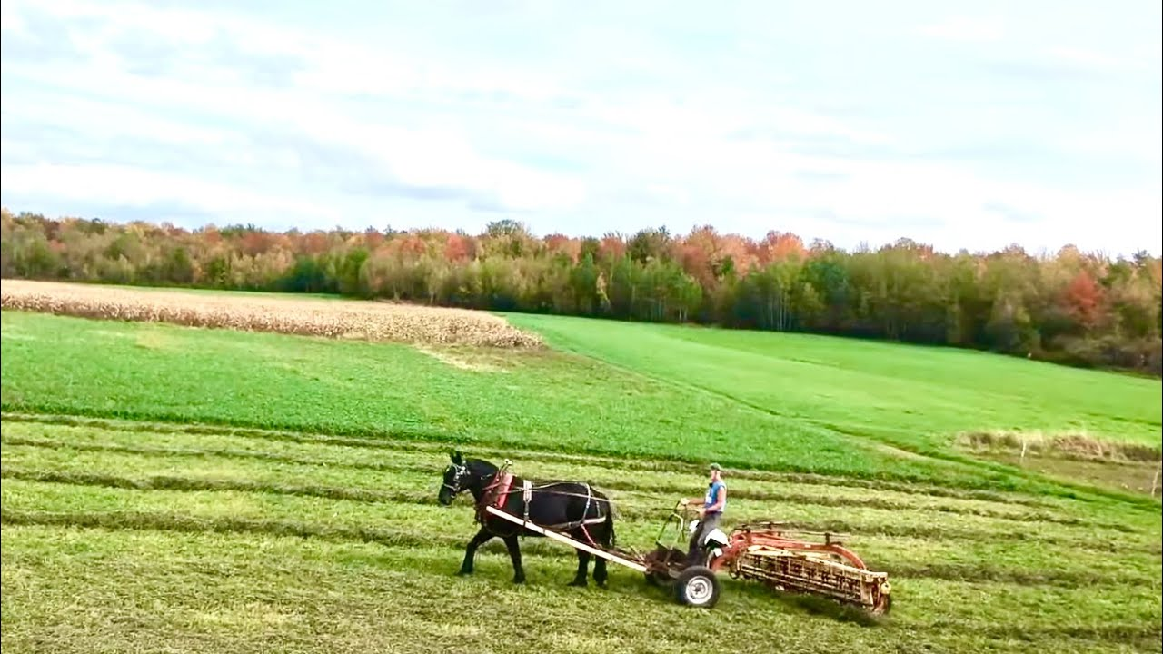 YOU'VE GOTTA SEE THESE COLORS! 🍁🍂🍁 Hitching up a Single Draft Horse to Rake Hay with Fall Foliage