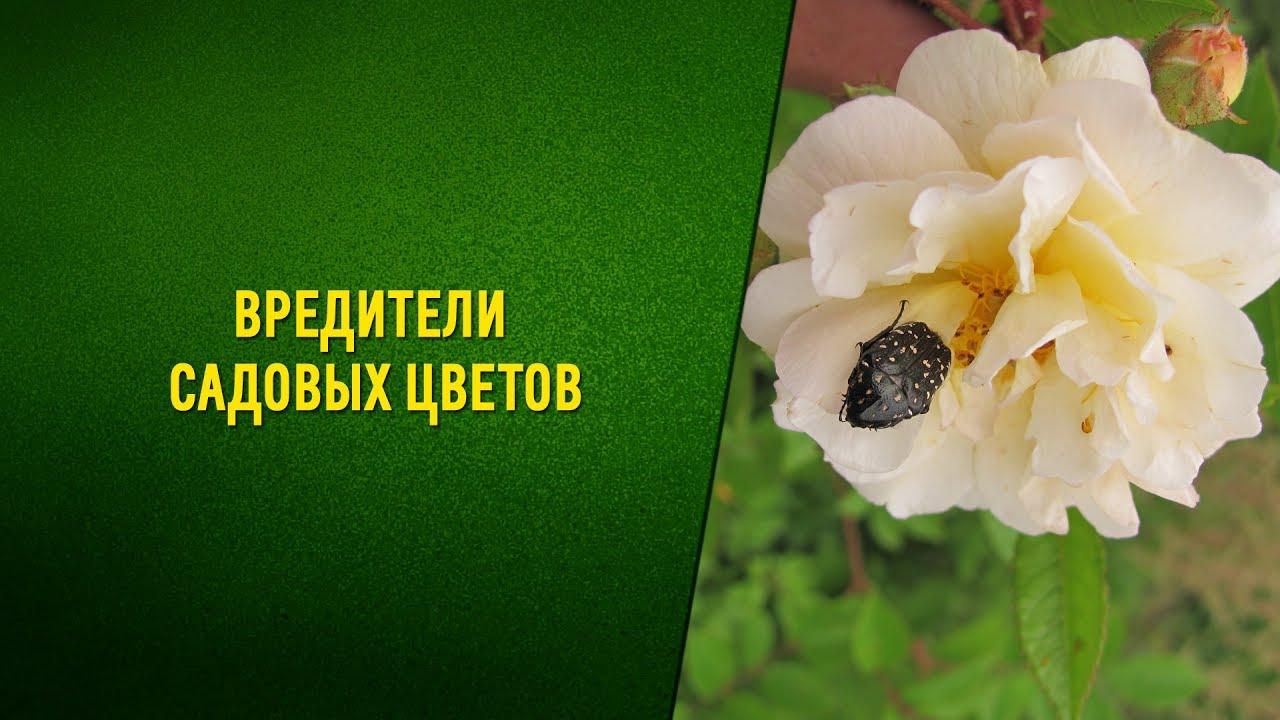 Вредители садовых цветов