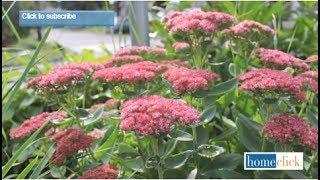 Sedum Autumn Joy - Growing Tips