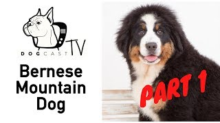 The Bernese Mountain Dog Breed, Part 1  DogCastTv