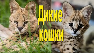 Дикие кошки и их малыши/Дикие коты. Познавательное видео для детей.