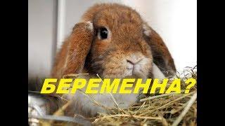 Беременна ли крольчиха? Определяем сукрольность у крольчихи. Разведение кроликов