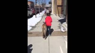 Watch What Happens When A 9-year Old Girl Walks An Olk9-trained Great Dane?