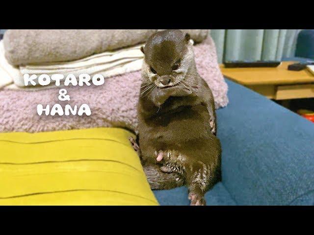 カワウソコタローとハナ なんとも陽気なコタローの休日 Otter Kotaro&Hana Naughty Cheerful Boy Kotaro