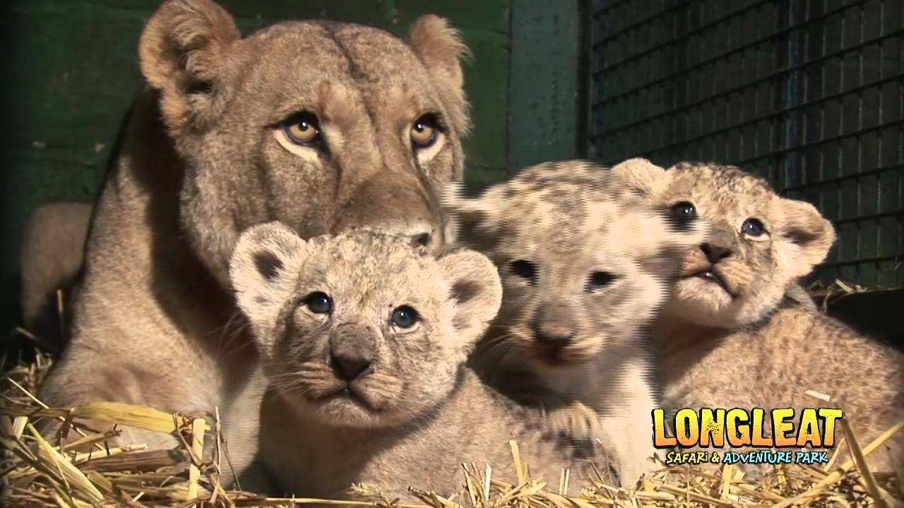 longleat lion cubs at four weeks old youtube