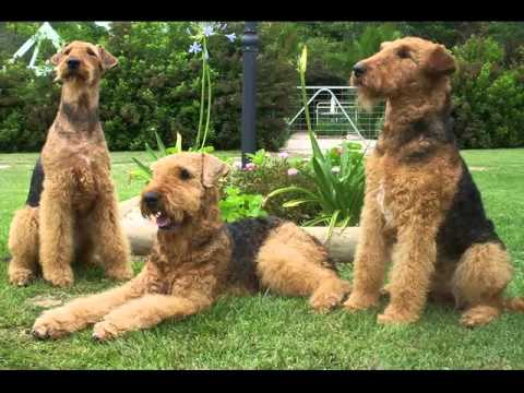 Largest breed of terrier