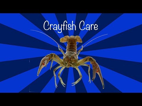 How To Care For A Crayfish