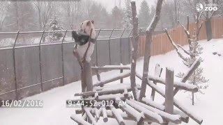 Repeat youtube video Toronto Zoo Giant Panda Climbing in the Snow!