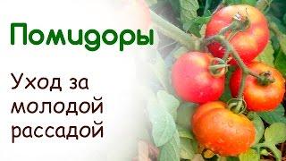 Выращивание рассады помидоров на подоконнике. Уход за молодой рассадой томатов(В это видео я расскажу про уход за молодой рассадой от пикировки до закаливания перед высадкой в грунт...., 2015-04-04T13:33:38.000Z)