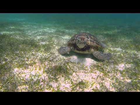New Caledonia Turtle