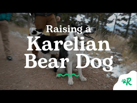 Raising a Karelian Bear Dog   Rover.com