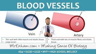 Blood vessels - GCSE Biology (9-1)