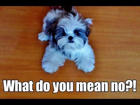 Puppyhood: Shih Tzu Puppy [Fudgee] Throwing Tantrums (Part 1)