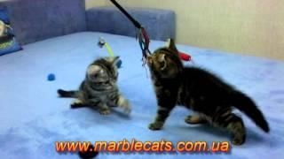 Британские котята окраса черный мрамор на серебре  Litter R  1 month 3 weeks
