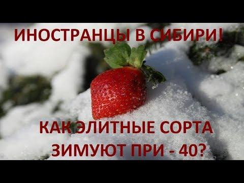 Результаты зимовки иностранных сортов клубники в Сибири в Иркутске, выращивание клубники в Сибири.
