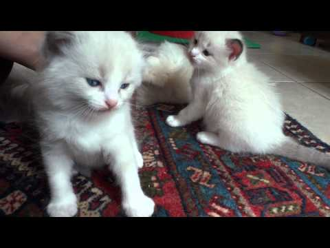 Filhotes de ragdoll com 1 mes de vida