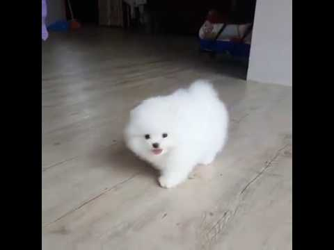 Cute Tiny White Puppy Youtube