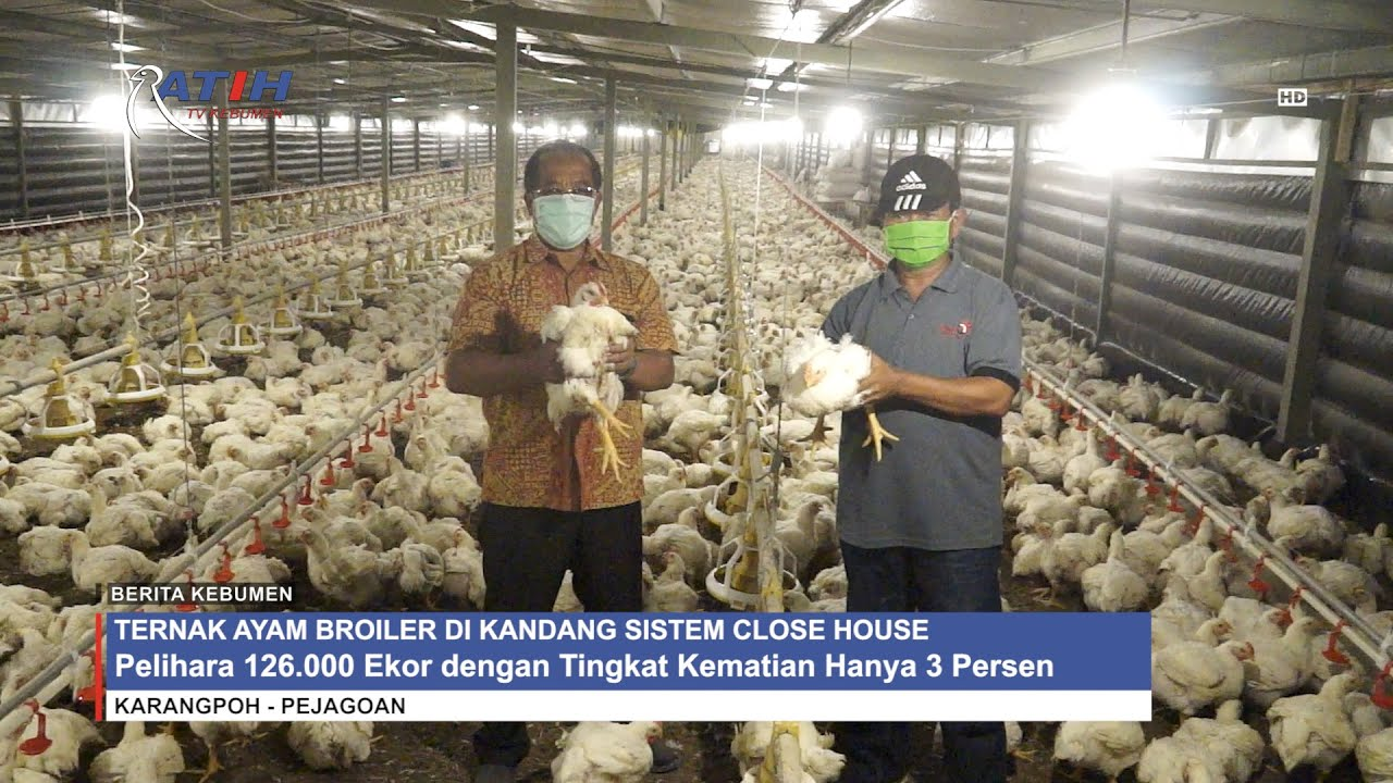 Ternak Ayam Broiler di Kandang Sistem Close House - YouTube