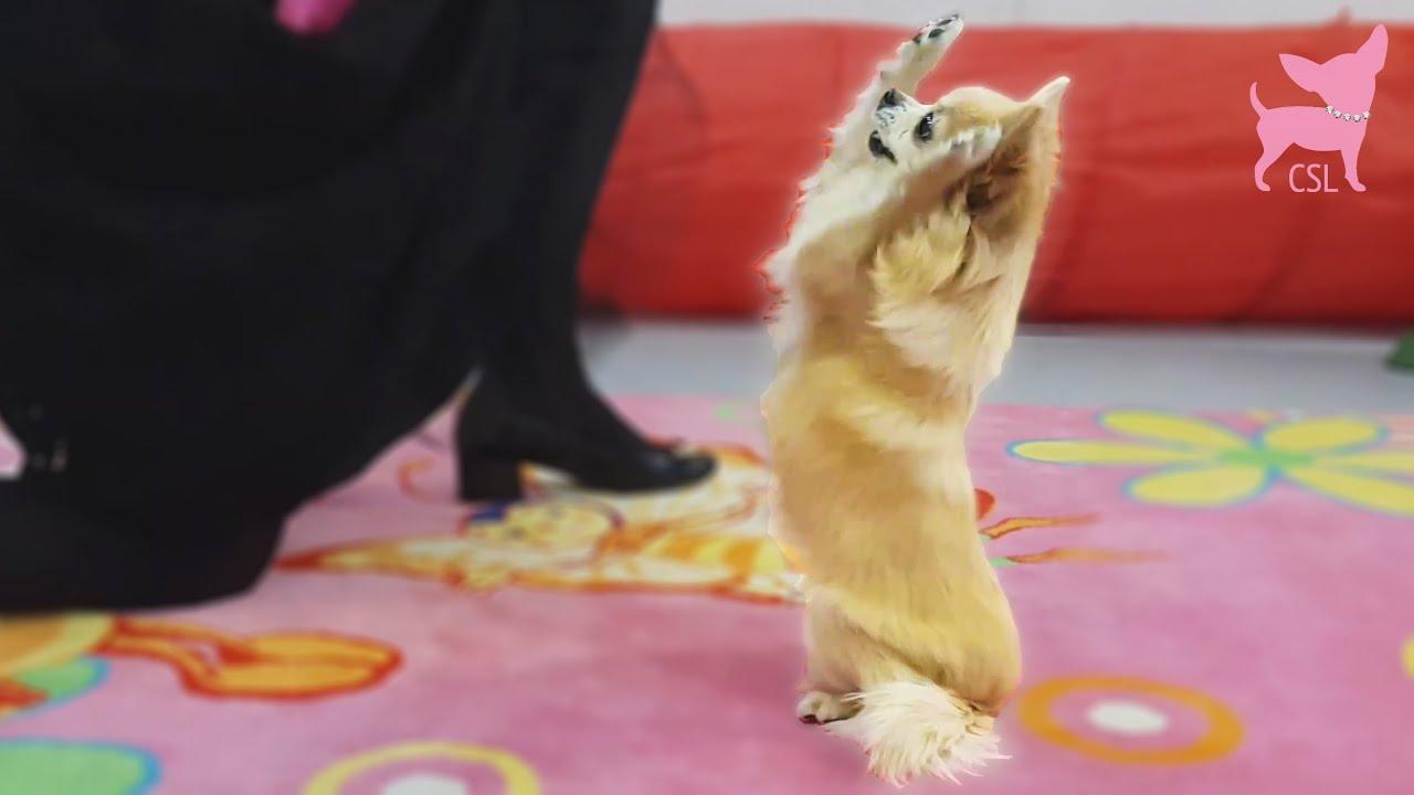 Cute Chihuahua Mathilda Performs a Dog Dance