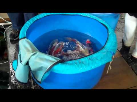 How to Choose Koi Fish Food For Healthy and Happy Koi