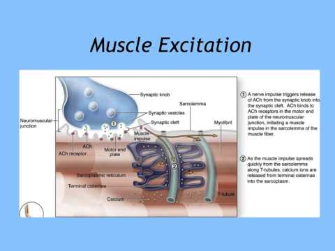 Unit 6.1b Muscle Contraction