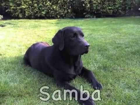 My Beautiful Chocolate Labrador Samba Youtube