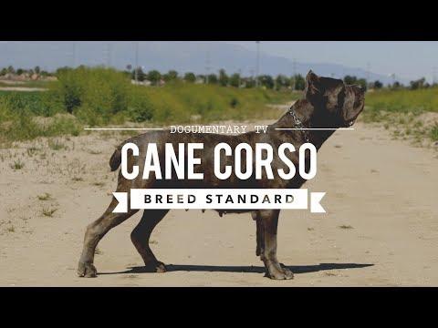 CANE CORSO BREED STANDARD