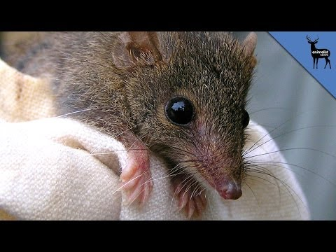 Mammal Screws Itself To Death!