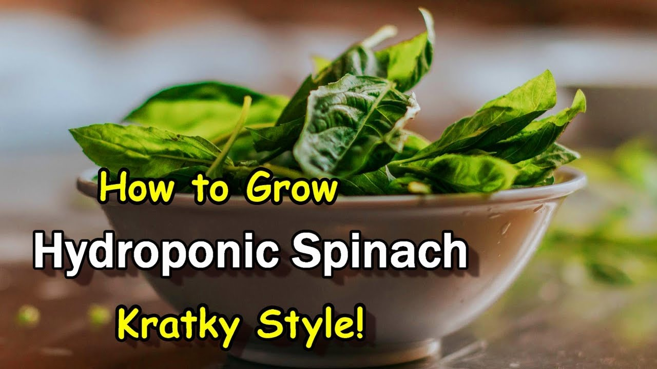 Easy to Grow Spinach Hydroponically Using the Kratky Method