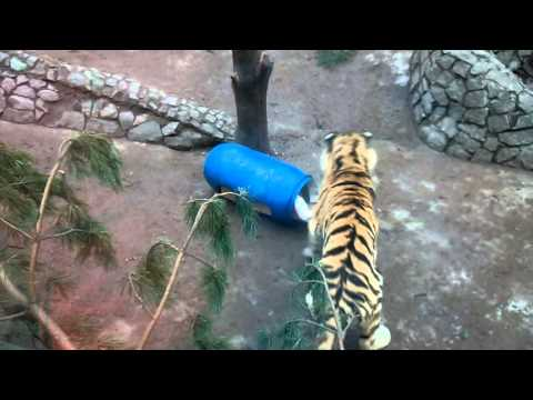 Tigers in the Leningrad Zoo - Barrel with food inside - all of the holes closed by boxes