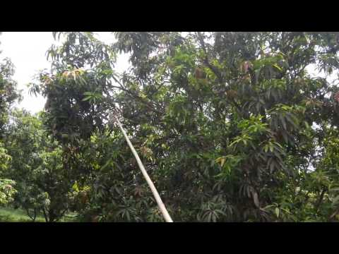 Mango Harvesting by Jay Shree Dies & Components, Ahmedabad