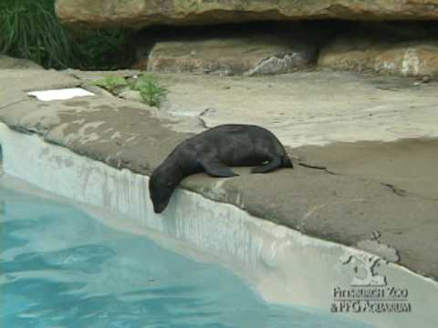Baby sea lion swim lesson youtube baby sea lion swim lesson publicscrutiny Images