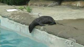 Baby Sea Lion Swim Lesson