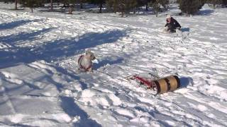 Dog (westie) Sledding / Tobogganing