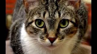 Порода кошек. Бразильская короткошерстная кошка,характеристика и стандарты кошки