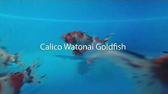 Remarkable Goldfish - YouTube
