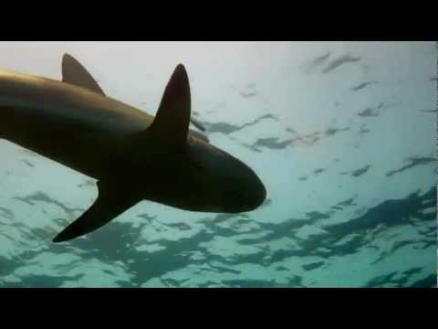 Reef Shark: Fowl Caye, Abaco, Bahamas