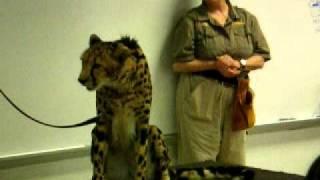 Drawing & Anatomy -- King Cheetah 2