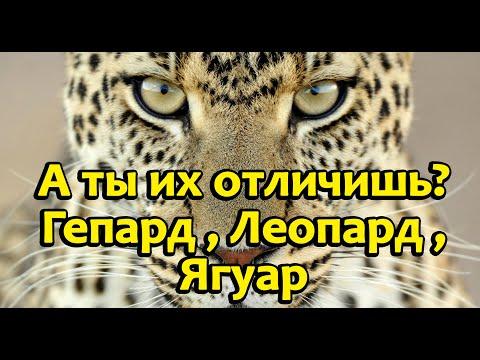 Как отличить гепарда от леопарда и ягуара