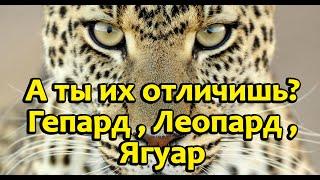 В чём же отличия гепарда,леопарда,ягуара.