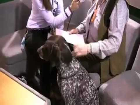 Crufts 2009 – Working Gundog German Shorthaired Pointer