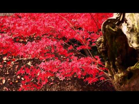 Red leaves in Koishikawa Korakuen Japanese garden - 小石川後楽園の紅葉
