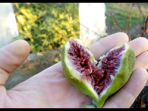 Как выращивают инжир в открытом грунте.