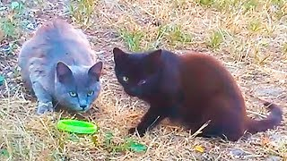 Gray and black Cats eat and mate on the Street