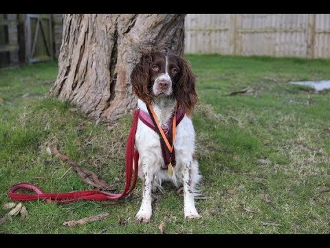 Ruby - 5 yr old Springer Spaniel - 4 Weeks Training