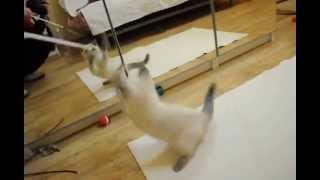 Британский котенок блю поинт в питомнике British House