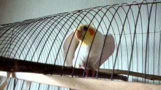Говорящий попугай-корелла Тиша.(Фразы:Свободу попугаям.Привет! Как дела? Давай поцелуемся. Тиша умная птичка. Тиша хочет летать. Аблукова..., 2012-12-27T15:28:12.000Z)