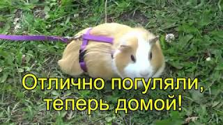Как Гулять с Питомцем - Морская Свинка. Борька, на природе!/Guinea pig in nature!