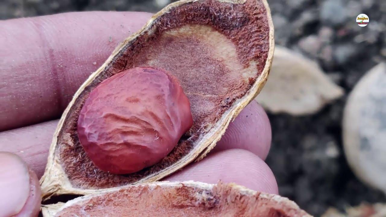 सालों पुरानी दाद खुजली चर्म रोग एग्जिमा कील मुंहासे गंजापन ठीक करो जड़ीबूटी करंज /Pongamia pinnata