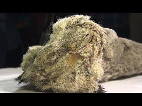 Estudian la posibilidad de resucitar al extinto león de las cavernas